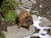 Hyrax are able to cope with a more extreme climate and are found up to the highest vegetation.