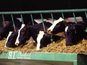 Holstein dairy cows from http://www.ars.usda.gov/is/graphics/photos/ Holstein dairy cows thumbnail Image Number K7964-1 Holstein dairy cows. Photo by Scott Bauer.