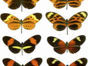 "Mimicry in Butterflies Is Seen here on These Classic ""Plates"" Showing Four Forms of H. numata, Two Forms of H. melpomene, and the Two Corresponding Mimicking Forms of H. erato. This highlights the diversity of patterns as well as the mimicry associations,"