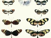 Plate from Bates (1862) illustrating Batesian mimicry between Dismorphia species (top row, third row) and various Ithomiini (Nymphalidae) (second row, bottom row)
