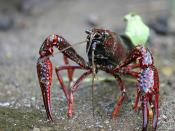 Procambarus clarkii, known as the Louisiana crawfish, is the state crustacean of Louisiana.