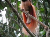 Raggiana Bird of Paradise, Paradisaea raggiana