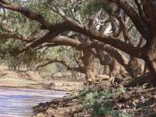 English: Combo Waterhole Queensland in a light dust haze. Probably the archetyp of a billabong, under the shade of a coolibah tree from the song