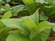 Tobacco plants growing in a field in Intercourse, Pennsylvania