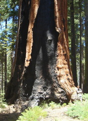 Franklin tree, Giant Forest Grove, Sequoia National Park
