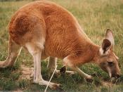 The Red Kangaroo is the largest macropod and is one of Australia's heraldic animals, Egerton, p. 44. appearing with the Emu on the Coat of Arms of Australia.