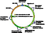 Aufbau der menschlichen mitochondrialen DNA (Eng: Structure of human mtDNA; untereinheit = subunit)