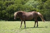English: One of the wild (feral) horses (Equus caballus) of Assateague Island, Maryland, USA, in its native setting