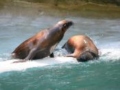 California sea lions (Zalophus californianus)