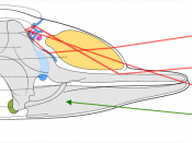 Echolocation system of a toothed whale