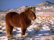 An Icelandic horse near Krýsuvík.