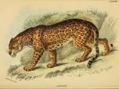 Jaguar / Felis onca