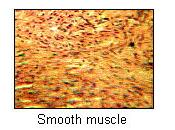 Types of muscle (shown at different magnifications)