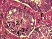 English: Histological section through testicular parenchyma of a boar. 1 Lumen of Tubulus seminiferus contortus, 2 spermatids, 3 spermatocytes, 4 spermatogonia, 5 Sertoli cell, 6 Myofibroblasts, 7 Leydig cells, 8 capillaries Polski: Przekrój przez miąższ