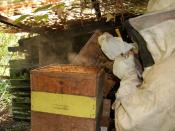A beekeeper smoking a hive.