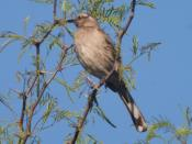 Chilean Mockingbird (Mimus thenca)