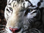 English: Bengali white tiger Español: Tigre blanco