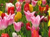 tulips in sacramento