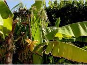 musa basjoo o bananero de fibras