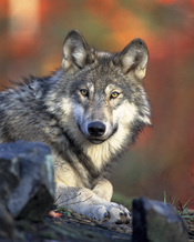 Gray wolf. Français : Loup. Nederlands: Wolf Türkçe: Kurt