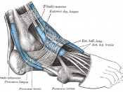 The mucous sheaths of the tendons around the ankle. Lateral aspect.