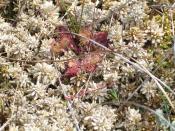 Drosera rotundifolia in a peat moss cushion