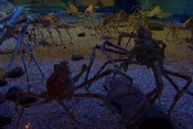 Giant spider crab (Macrocheira kaempferi) at the Kaiyukan Aquarium in Osaka, Japan.