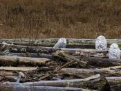 group of four snowy owls
