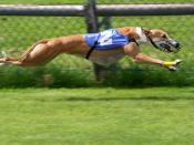 Greyhound racing Français : Lévrier durant une course.