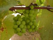 English: Grapes in tender stage