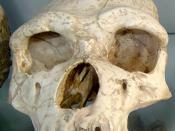 Homo erectus tautavelensis skull