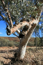 English: River Red Gum (Eucalyptus camaldulensis) trunk near the Ochre Pits, Namitjira Drive, Northern Territory, Australia.