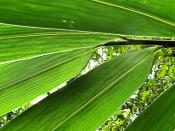 Organic Green Leafs of Bamboo