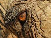The eye of an Asian elephant at Elephant Nature Park, Thailand, taken using a Sony alpha 700, Minolta 50mm 2.8 Macro