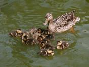 English: Female Mallard (Anas platyrhynchos) with ducklings Español: Un ánade real (Anas platyrhynchos) femenino con patitos.