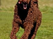 Brown Standard Poodle (Maisie, 22 months old, running at the coast at South Shields in March 2009)