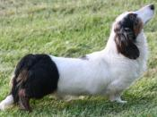 A parti-colour longhaired Dachshund.