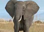 English: A female African Bush Elephant in Mikumi National Park, Tanzania Français : Femelle éléphant africaine au Parc national de Mikumi, Tanzanie