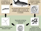 Mcerebralis life cycle