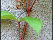 Parthenocissus adhesive Pads - כריות הצמדה של גפנית
