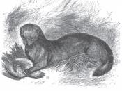 Polecat-ferret hybrid