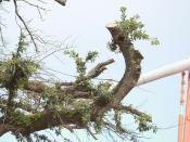 Toomer's trees 3