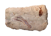 English: Fossil fish Diplomystus birdii, lobster Pseudostacus sp., and a partial Dercetis triqueter ::Stage: Middle Cretaceous, Cenomanian Stage (95 million years ago) ::Locality: Hakel, Lebanon. ::Dimension: 24 cm across