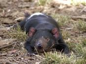 Tasmanian Devil relaxing.