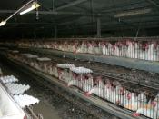 Chickens in industrial coop