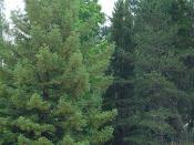 Bald Eagles in Sentinel Tree