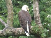 Photo of a Bald Eagle taken at the Toledo Zoo.