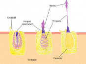 A diagram of the discharge mechanism of a nematocyst.