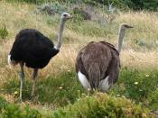 Male and Female ostriches Cape Point