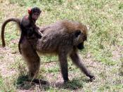 Baboon with its young, photographed at Lake Manayara National Park, Tanzania